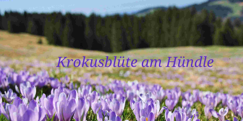 Krokusblüte am Hündle in Oberstaufen